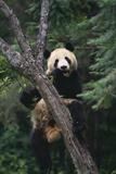 Panda Eating in Tree Photographic Print by  DLILLC