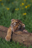 Bengal Tiger Cub Asleep on Fallen Tree Photographic Print by  DLILLC