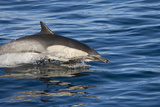Surfacing Common Dolphin Photographic Print by  DLILLC