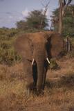 Adult Elephant Photographic Print by  DLILLC