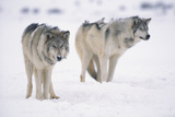 Gray Wolves in Snow Photographic Print by  DLILLC