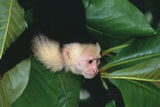 Capuchin Climbing down Leaves Photographic Print by  DLILLC