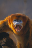 Golden Snub-Nosed Monkey Snarling Photographic Print by  DLILLC