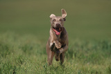 Excited Weimaraner Running in Field Photographic Print by  DLILLC