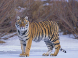 Bengal Tiger on Frozen Lake Photographic Print by  DLILLC