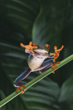 Red Eyed Tree Frog Jumping from Plant Photographic Print by  DLILLC
