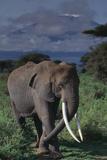 Adult Elephant Scratching its Leg Photographic Print by  DLILLC