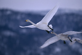 Whooper Swans Flying Impressão fotográfica por  DLILLC