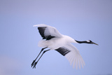 Red-Crowned Crane in Flight Photographic Print by  DLILLC