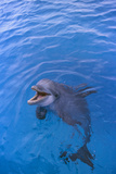 Bottlenosed Dolphin in Water with Mouth Open Photographic Print by  DLILLC