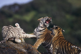 Bengal and Siberian Tiger Cubs Playing on Rocks Photographic Print by  DLILLC