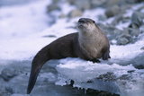 River Otter on Ice by River Photographic Print by  DLILLC