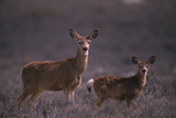 Doe and Fawn in Field Photographic Print by  DLILLC