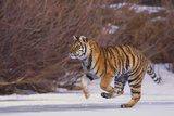 Bengal Tiger Running on Frozen Lake Photographic Print by  DLILLC