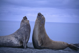 Southern Elephant Seals Fighting Photographic Print by  DLILLC