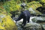 Black Bear Standing on Rocks Papier Photo par  DLILLC