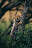 Cheetah Cub Clinging to Tree Trunk Photographic Print by  DLILLC