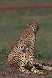 Cheetahs Sitting in Savannah Photographic Print by  DLILLC