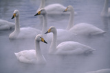 Whooper Swans Floating on Water Impressão fotográfica por  DLILLC