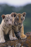 Bengal Tiger Cubs on Rocks Reprodukcja zdjęcia autor DLILLC