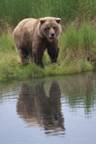 Grizzly by Stream Photographic Print by  DLILLC