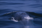 Blue Whale Surfacing Photographic Print by  DLILLC