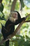 Capuchin Sitting on Tree Limb Fotografisk tryk af  DLILLC