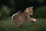 Striped Kitten Leaping Reproduction photographique par  DLILLC