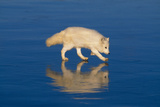 Arctic Fox on Ice Photographic Print by  DLILLC