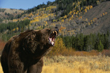 Grizzly Roaring in Field Photographic Print by  DLILLC