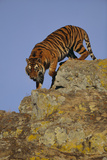 Bengal Tiger Climbing down Rocks Photographic Print by  DLILLC