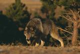 Gray Wolf Stalking Stampa fotografica di  DLILLC