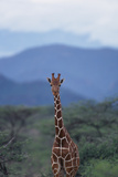 Reticulated Giraffe Standing among Trees Photographic Print by  DLILLC