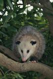 Virginia Opossum in Tree Photographic Print by  DLILLC
