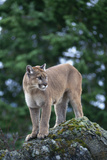 Cougar Standing on Rock Photographic Print by  DLILLC