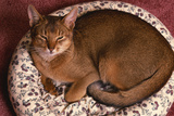Abyssinian Ruddy Cat Lying on Cushion Photographic Print by  DLILLC