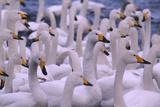Whooper Swans Impressão fotográfica por  DLILLC