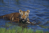 Bengal Tiger Cub in Water Photographic Print by  DLILLC