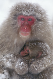 Japanese Macaque with Baby Photographic Print by  DLILLC