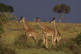 Masai Giraffe Calves Photographic Print by  DLILLC