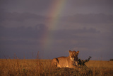 African Lioness and Rainbow Photographic Print by  DLILLC
