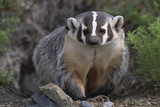 American Badger in Burrow Photographic Print by  DLILLC