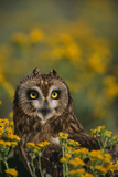 Short-Eared Owl Photographic Print by  DLILLC