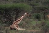 Reticulated Giraffe Resting Photographic Print by  DLILLC