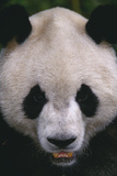 Giant Panda Photographic Print by  DLILLC