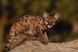 Cougar Cub Sitting on Log Photographic Print by  DLILLC