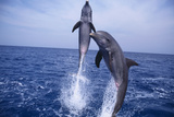 Bottlenosed Dolphins Leaping from Water Photographic Print by  DLILLC