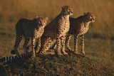 Cheetahs on Dirt Mound Photographic Print by  DLILLC