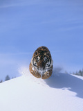 Bengal Tiger Jumping from Snowdrift Photographic Print by  DLILLC