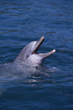 Bottlenosed Dolphin with Mouth Open Photographic Print by  DLILLC
